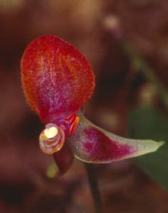 [4 s @ 28.8 kb/s] Lepanthes sp. nov.